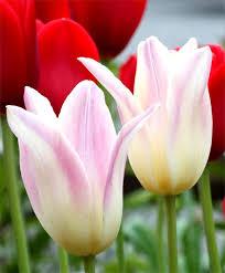 tulip elegant lady lily flowering tulips tulips flower bulb