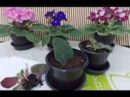 african violet grow light growing african violets youtube