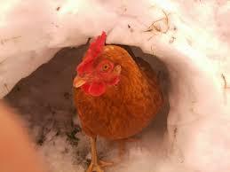 gingernut ranger for sale chickens breed information omlet