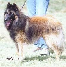 belgian shepherd national specialty r e french champion milton de la clairiere aux louves b tr