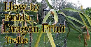 fruit tree garden layout how to build a dragon fruit pitaya trellis youtube