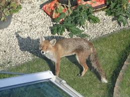 fox living by house ask an expert wildlife the rspb community