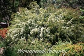 best australian native hedge plants popular hedging plants native plant and revegetation specialists