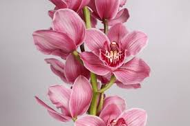 cymbidium orchid pink cymbidium orchid 10 stems jr roses wholesale flowers