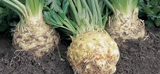 Green Root Vegetable - how to grow celeriac