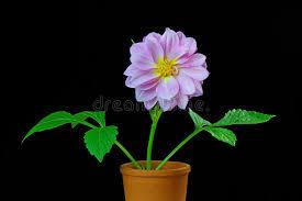 dalia in vaso dalia in un vaso di fiore immagine stock immagine di romanzesco