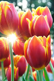 beautiful spring time flowers tulips photography flowers