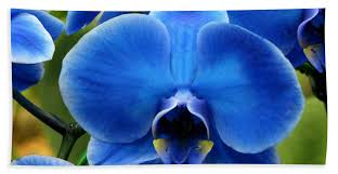 blue orchids for sale blue orchid bath towel for sale by peg