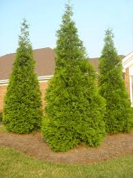 thuja green evergreen trees for sale fast growing trees