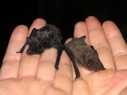 mammiferi volanti aperitivo col pipistrello al csn alla scoperta dei