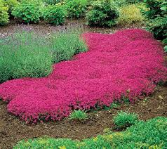 roberta s 50 pc carmin trle me creeping thyme collection