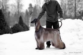 afghan hound ireland sweden al khabara