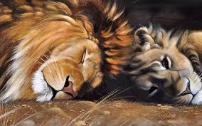 imagenes de leones salvajes gratis leones gatos animales melena de león dual múltiples fondos de
