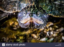 St Lawrence River Map Northern Map Turtle Underwater In The St Lawrence River Stock
