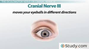 Gross Anatomy Of The Brain And Cranial Nerves Worksheet The Sense Of Sight Motion Nerves And Eye Movements Video