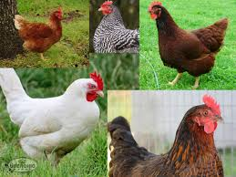 the top 10 chicken breeds for the