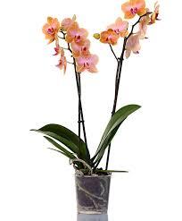 moth orchid phalaenopsis multiflora jena indoor plants jena