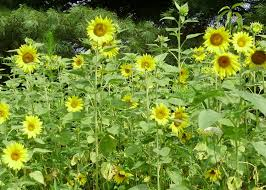 ohiofarmgirl u0027s adventures in the good land sunflowers