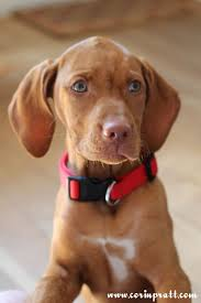 Vizsla Halloween Costume 25 Vizsla Puppies Ideas Vizsla Hungarian