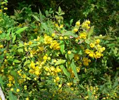 definition of native plants berberis nevinii