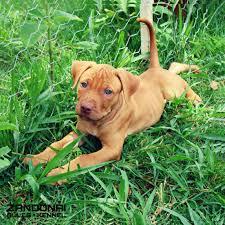 l american pitbull terrier a p b t pin by jim traver on apbt u0027s pinterest