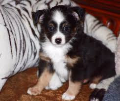 australian shepherd 14 weeks blue horizon toy australian shepherds