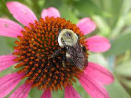 native nebraska plants nebraska wildflower week husker hort