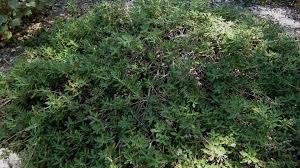 california native plant ground cover plants terra seca black sage california native garden ep 21 youtube