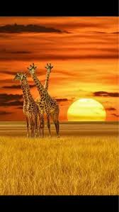 how much is prirode on black friday at target 490 best giraffes images on pinterest baby giraffes giraffe art