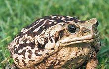 How To Get Rid Of Cane Toads In Backyard How To Save A Dog Poisoned By The Bufo Marinus Frog Cane Toad