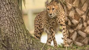 jacksonville zoo mourns death of cheetah
