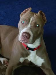 american pitbull terrier kingfish bloodline pit bull breed information and photos thriftyfun