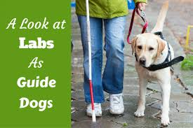 Leader Dogs For The Blind Jobs Labradors As Guide Dogs An Overview U0026 How You Can Help