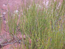 ephedra plant wikipedia friday in the fiery furnace arches part 2 spokalulu