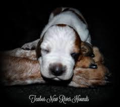 bluetick coonhound west virginia view ad english coonhound puppy for sale west virginia hinton usa