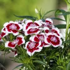 sweet william flowers sweet william diabunda picotee f1 the edible flower shop