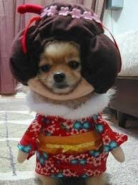 chihuahua dog in geisha costume halloween costumes pinterest