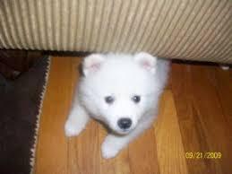 american eskimo dog for sale in colorado american eskimo puppies for sale