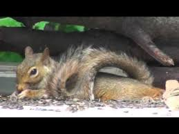 baby squirrel laying on his belly eating black oil sunflower seed