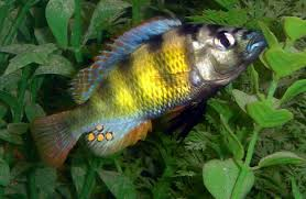 freshwater fish high definition chillcover com