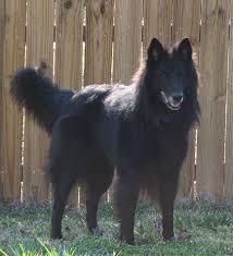 adopt a belgian sheepdog iding the belgian sheepdog belgian sheepdog rescue trust