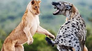 animals attack to death lions vs with hyenas national