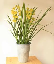 cymbidium orchid send cymbidium orchid as a plant gift we deliver in uk by post