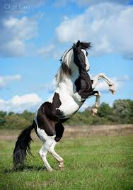 american paint horse western quarter paint horse paint pinto horse