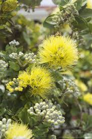 native hawaiian medicinal plants 61 best pua nani images on pinterest beautiful flowers hawaii