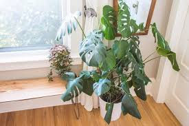 houseplant trellis monstera deliciosa growing care and propagation tips apartment