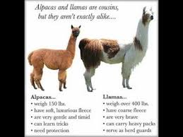 Alpaca Sheep Meme - alpacas vs llamas album on imgur