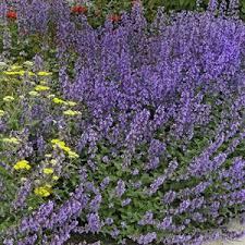 Plants Of Season 4 Joanna by Nepeta X Joanna Reed Gateway Garden Center