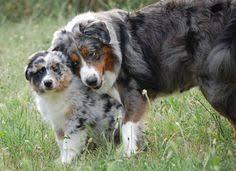 diamond s australian shepherds luna kendall u0027s dog she loves luna diamonds pup like her own