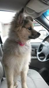 australian shepherd zucht bayern 46 best i need a dog images on pinterest animals english